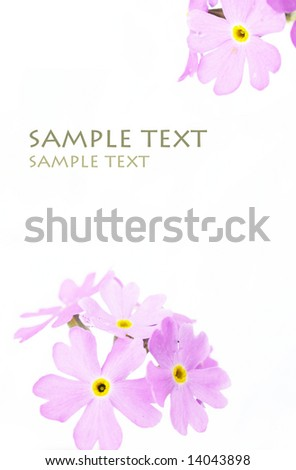 beautiful purple flowers against white background (deliberate use of shallow depth of field)