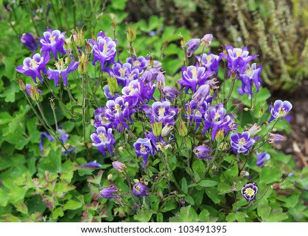 wild columbine flower stock images, royaltyfree images  vectors, Beautiful flower