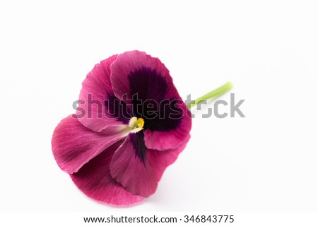 Beautiful purple garden pansy with green stem on white background.  Pansies, larged flowered garden plants within Violaceae family with overlapping petals, used in phytotherapy. Symbol of remembrance  - stock photo
