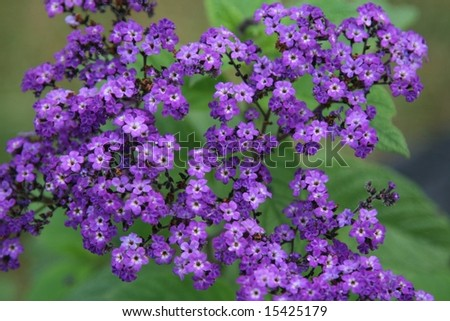 beautiful purple grouping of flowers called heliotropes - stock photo