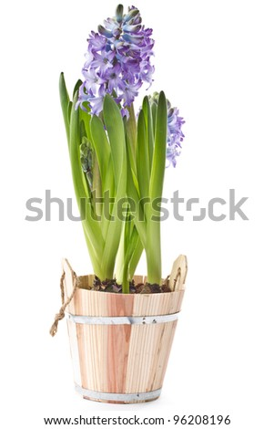 beautiful purple hyacinth flowers on a white background - stock photo