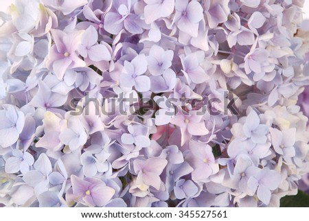 Beautiful purple hydrangeas flower background. Natural color.  - stock photo