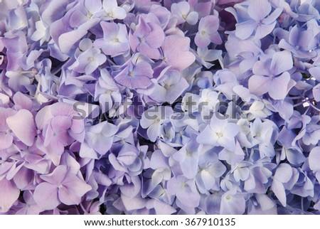 Beautiful purple hydrangeas flower background. Natural color. - stock photo