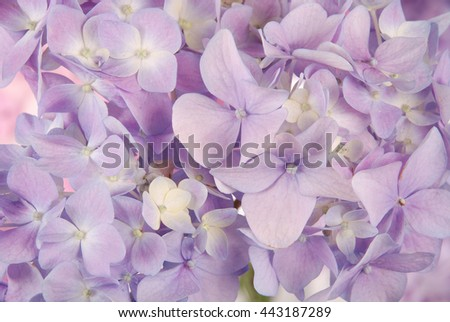 Beautiful purple hydrangeas flower background. Natural color.