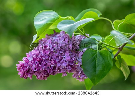 Beautiful purple lilac flowers outdoors. - stock photo
