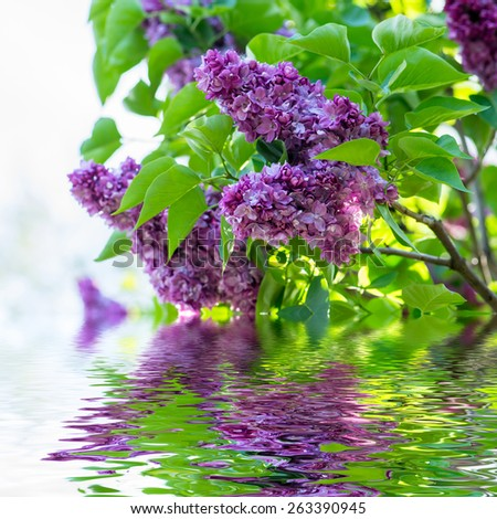 Beautiful purple lilac flowers outdoors with water surface. - stock photo