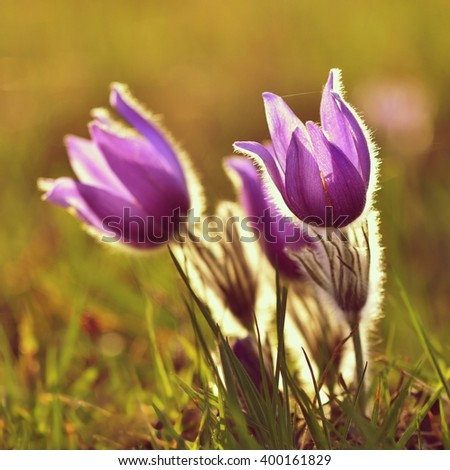 Beautiful purple little furry pasque-flower.  (Pulsatilla grandis) Blooming on spring meadow at the sunset. - stock photo
