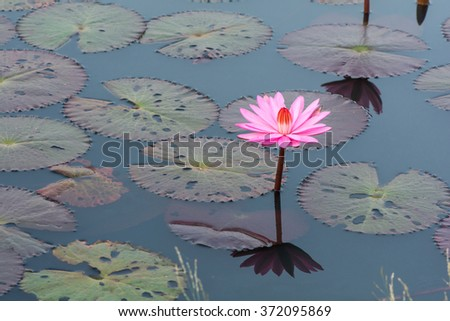 Beautiful purple lotus blooming in the pond. - stock photo