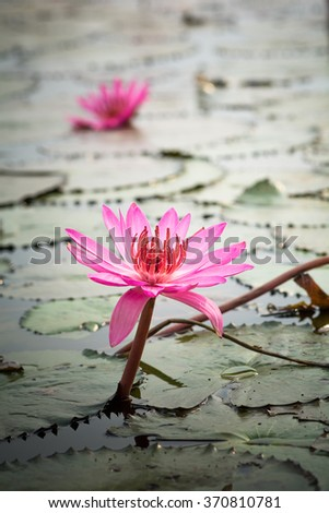 Beautiful purple lotus blooming in the pond. Vintage of Nature - stock photo