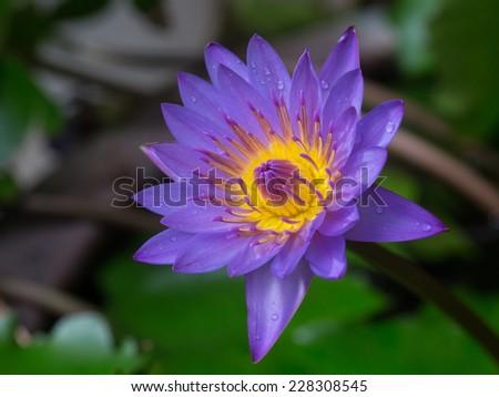 Beautiful Purple lotus flower - stock photo