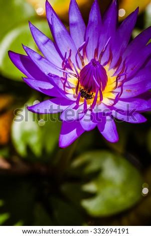 Beautiful  purple  lotus  in  Thailand - stock photo