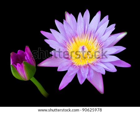 Beautiful  Purple lotus on a black background.