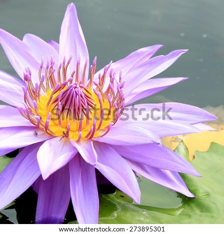 Beautiful purple Lotus, water plant in a pond water lily. - stock photo