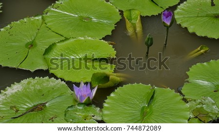 beautiful purple lotus with green leaf in pond