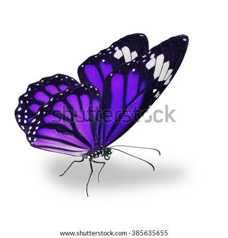 Beautiful purple monarch butterfly isolated on white background - stock photo