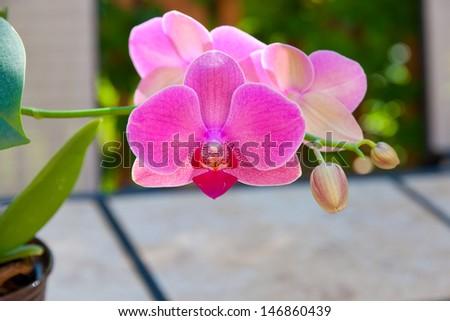 Beautiful purple orchid flower - phalaenopsis. selective focus, shallow dof - stock photo