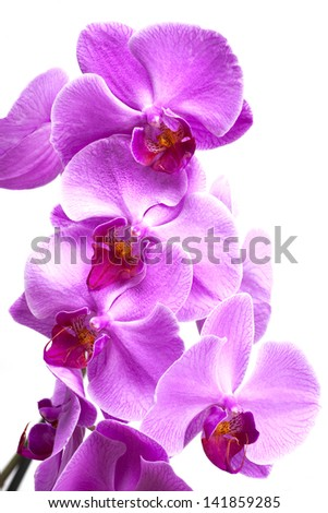 Beautiful purple orchid flowers close up on white background - stock photo