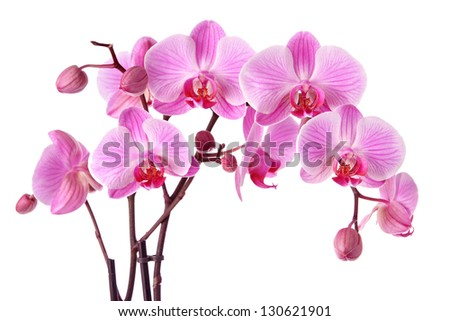 Beautiful purple orchid flowers isolated on a white background - stock photo