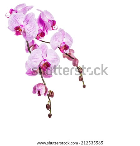 Beautiful purple orchid flowers isolated on white background. Clipping path included. - stock photo