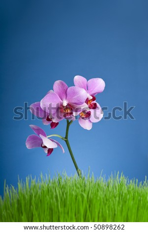 Beautiful purple orchid, grass and blue  background - stock photo