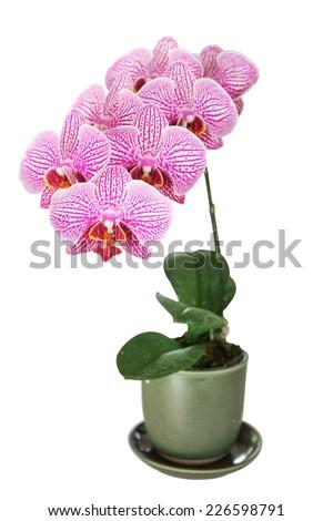 Beautiful purple orchid growth on Pot - phalaenopsis - stock photo