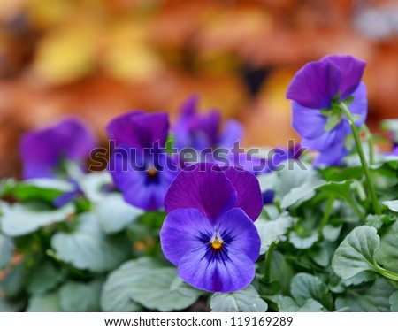 Beautiful purple pansies in the garden in autumn. - stock photo