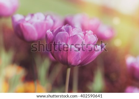 Beautiful purple tulip background.  A field of purple tulips bloom in the spring, macro selective focus and toned effect - stock photo