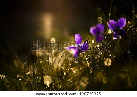 Beautiful purple viola wild flower in the forest after rain. - stock photo