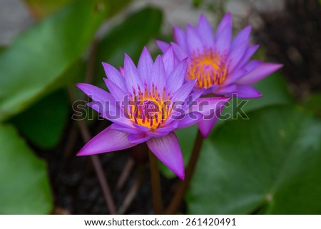 Beautiful purple water lilies with green background - stock photo
