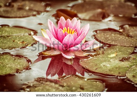 Beautiful purple water lily - Nymphaeaceae - in the garden pond. Warm yellow photo filter. Seasonal natural background. Beauty in nature. - stock photo