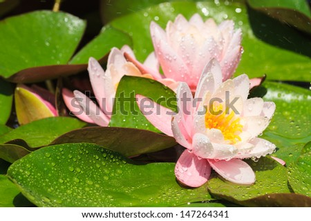 Beautiful purple water lily with water drops - stock photo