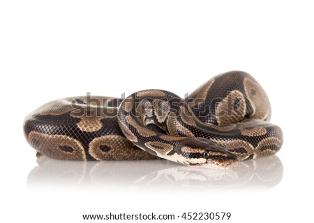 Beautiful python isolated in a white background - stock photo