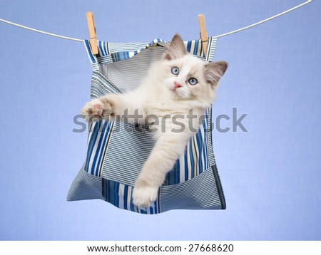 Beautiful Ragdoll kitten sitting inside clothes peg pin bag, hanging from wire, on blue background - stock photo