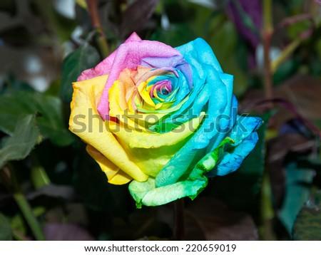 Beautiful rainbow rose. Close up view.  - stock photo