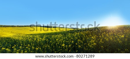 Beautiful rapeseed field