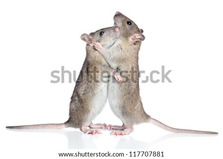 Beautiful rats cuddling on a white background - stock photo