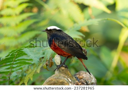 Beautiful red and black bird, White-capped Water Redstart (Chaimarrornis leucocephalus), standing on a branch