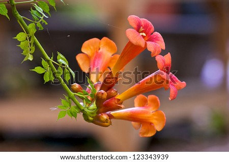"Beautiful red and orange flowers of the trumpet vine or trumpet creeper (Campsis radicans), also known as ""cow itch vine"" . Flowers are in bloom with seeds and leaves"
