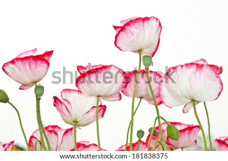 Beautiful red and white poppy flowers over white background - stock photo
