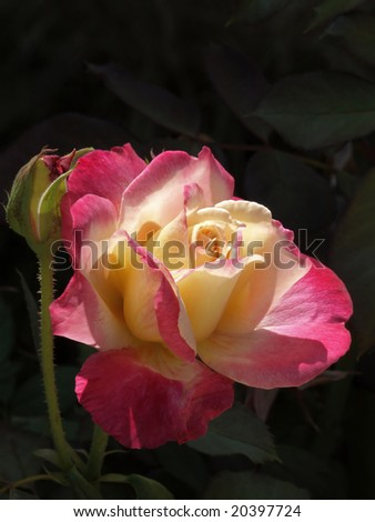 Beautiful red and white rose bloom against dark background
