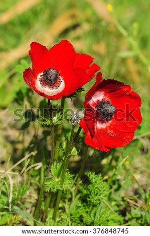 beautiful red anemone flower in front of the sun - stock photo