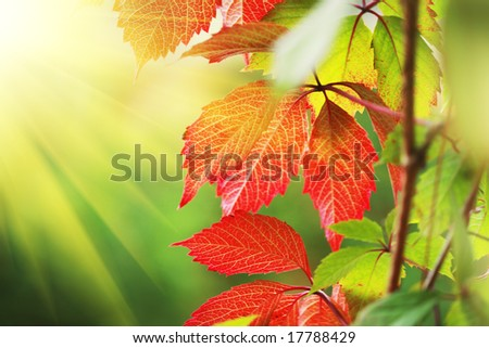 Beautiful red autumn leaves in sunshine. Close-up, shallow DOF. - stock photo