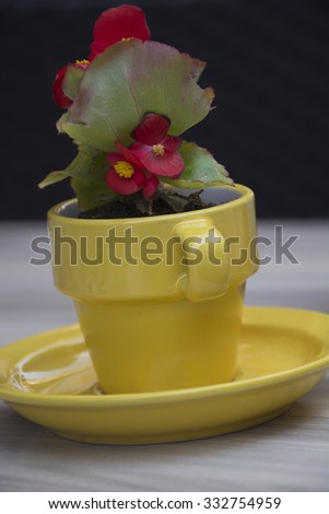 Beautiful Red Begonias in a Yellow Coffee Cup in Amsterdam - stock photo