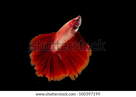 Beautiful red betta fish isolated on black background