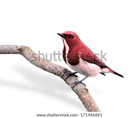 Beautiful Red Bird isolated on white background