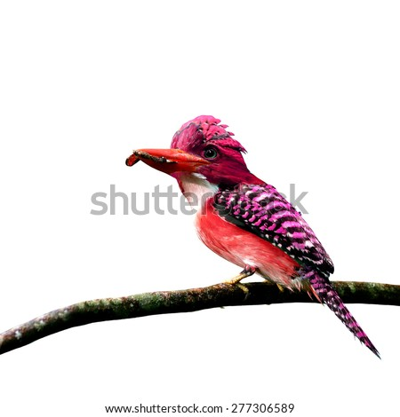 Beautiful red bird perching on branch isolated on white background - stock photo