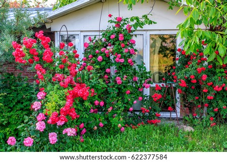 Beautiful red blooming rose flower bush in home garden at countryside at summer. Decorations and & Beautiful Red Blooming Rose Flower Bush Stock Photo (Edit Now ...