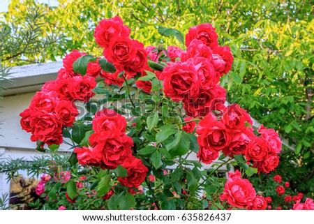 Beautiful Red Blooming Rose Flower Bush In Home Garden House Decorations And Gardening
