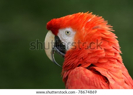 beautiful red blue Macaw parrot closeup