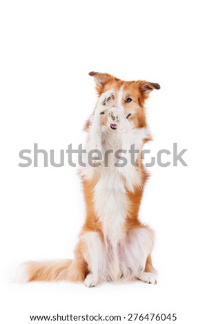 beautiful red border collie dog posing and closes one eye isolated on white